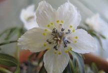 Plant of the Month: Eranthis pinnatifida (Jan 2018)