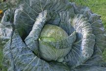 Bonnie 3rd Grade Cabbage Program