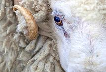 Animal: Sheep