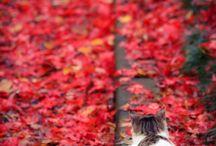 Momiji (maple leaves)