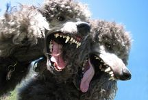 Canines:  The Poodle / by Brenda Harwood
