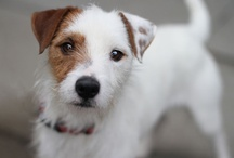 Jack Russells / All Jacks, all the time. / by Paige Carlin