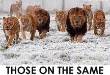 Lion / Lew