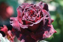 Roses bacchara