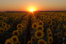 Sunflowers / by Jazmin Padilla