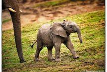 FiL ( Elephant)