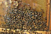 Bees/Honey / by Cheryl Bliefernich