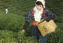 朝宮茶 / 今からおよそ1200年の昔、嵯峨天皇の御代に「近江の国紫香楽朝宮の地」に茶の実が植えられたのが始めと伝えられています。