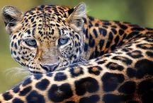 Ix – Mág, Jaguár - Síla Pravomoci, úcty, spravedlnosti a podpory / Ix - Jaguár je symbolem tvůrčích vesmírných sil. Je to Duch džungle, rovin i hor a Strážce magie Země