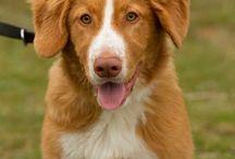 Nova Scotia Duck Tolling Retriever / Een leuk, lief, eigenwijs, actief en uitdagend ras. Als je opzoek bent naar een zeer actieve hond en je kunt veel tijd eraan besteden en je wilt zelf ook actief met de hond bezig zijn dan is dit een geschikt ras.