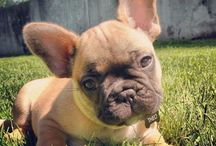 French Bulldogs <3 OMG LOVE <3