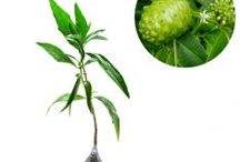 Penyakit Liver dan Hepatitis / Semua tanaman dalam board ini bisa dikirim keseluruh Indonesia, silahkan order ya, tel: 0341-599399 I SMS center: 08569020300 atau kunjungi website kami www.kebunbibit.id
