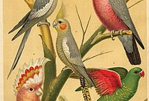 Antique bird drawings & artworks / Antique drawings & artworks of birds