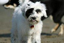 Tibbies! aka Tibetan Terriers