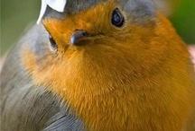 Robin / Bird