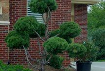 Pom pom tree (Gömbösre metszett fák és cserjék)