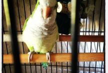 Billy and Zeus  / Our Quaker / Monk Parakeet Billy and my Senegal Parrot Zeus