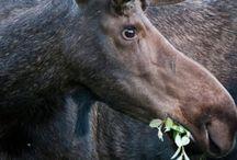 Moose_2