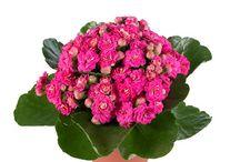 çiçek salon bitkileri