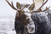 Wyoming Wildlife / This board is dedicated to Wyoming's beautiful wildlife!