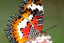 Motyl Butterflies Fauna