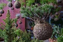 Rośliny, Kokedama