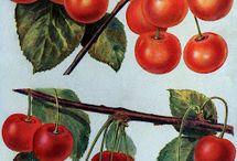 Cherries / by CheriG