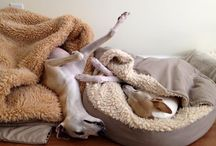 Whippet&greyhund