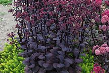 purple plants