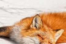 Not a princess, but a fox! / What does the fox say?