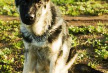 Argo / Le foto del mio cucciolotto di pastore tedesco