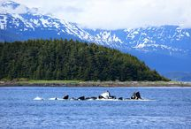 Alaskan Wine Crusie Coming 2014 / We will be hosting a wine cruise through the inner passage of Alaska, featuring our wines! Would you like to go on a once in a life time cruise, and learn more about our wines, vineyards, and foods that go with our wines? Contact Scott Elliff at Scot@ducardvineyards.com