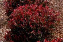 Plant - Shrubs/Trees