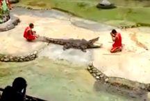 Thaise man bijna onthoofd op crocodile farm (video)