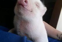 świneczki