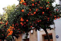 naranjos cordoba
