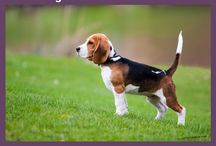 Dog Health Problems by Breeds / Common dog health problems by breeds, such as common health problems in Chihuahua, golden retrievers, German shepherds, Shih tzu, and more.