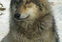 Lobos Wolves
