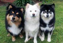 Hunderacer