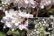 garden & trojpuk (deutzia)