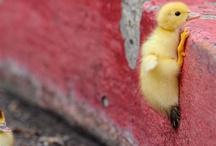 Ugly Duckly / DUCKS!
