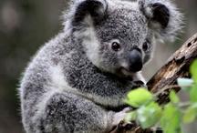 koala / by Judit Solans