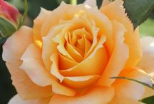 rose ((S.A.V))
