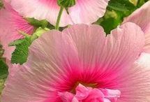 hollyhock flower collection s