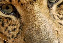 Leopardy