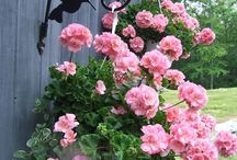 pelargonie w ogrodzie