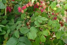 Growing berries / All sorts if berries, tips and tools for growing healthy plants
