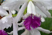 Cattleya / Orchids