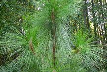 Pinus palustris Mocsári fenyő