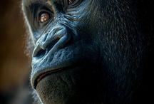 primate's